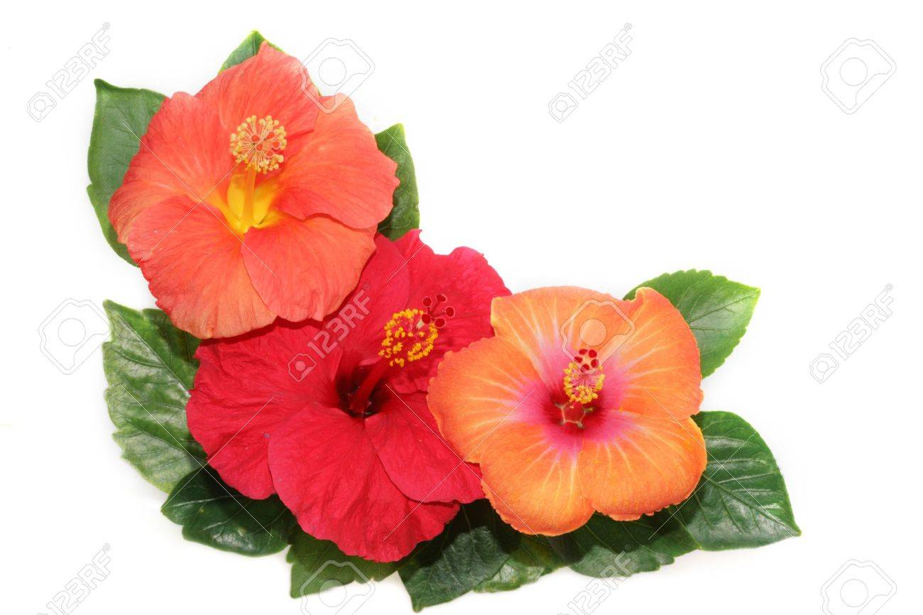 corner with hibiscus flowers stock photo, picture and royalty free, Beautiful flower