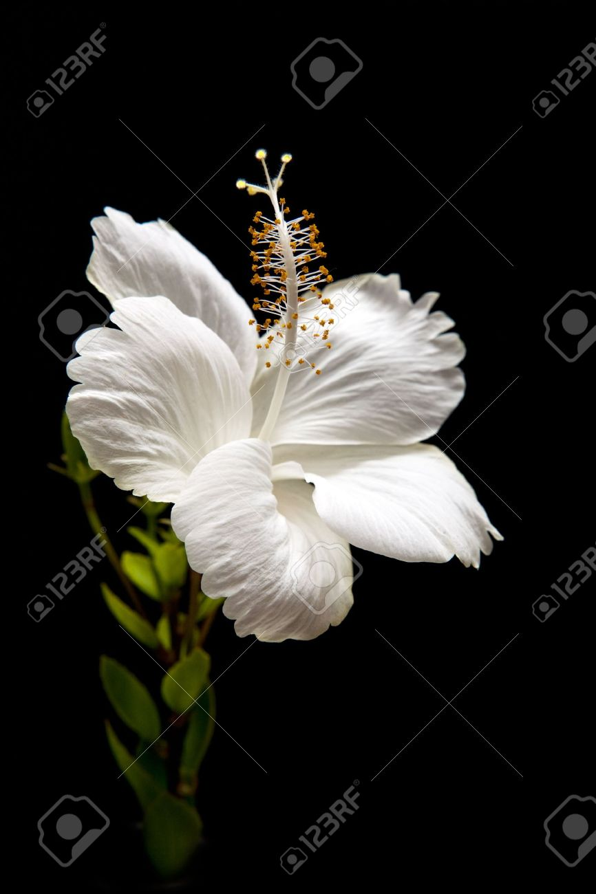 white Hibiscus on black background - 7917799
