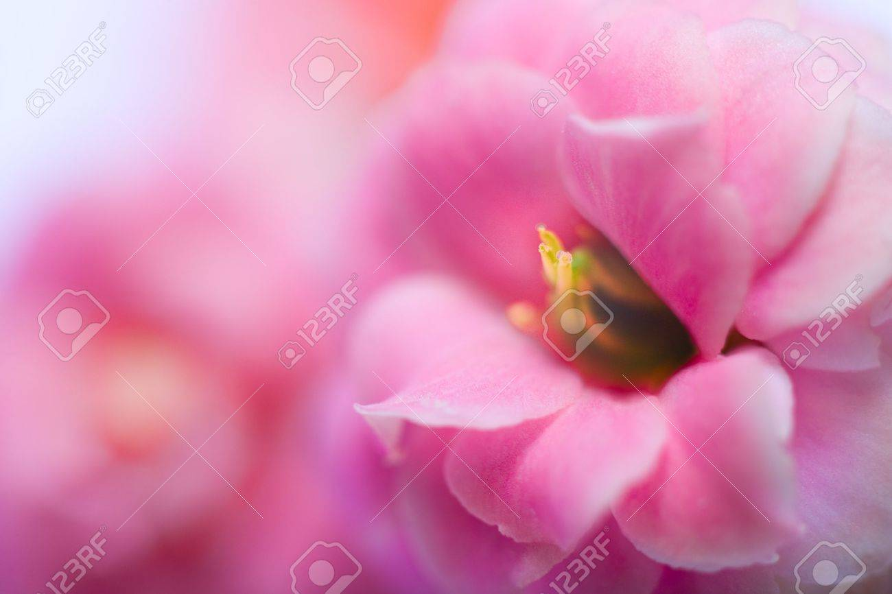 Pink Flowers Of Kalanchoe   Macro shutter with soft Focus Stock Photo - 8885570