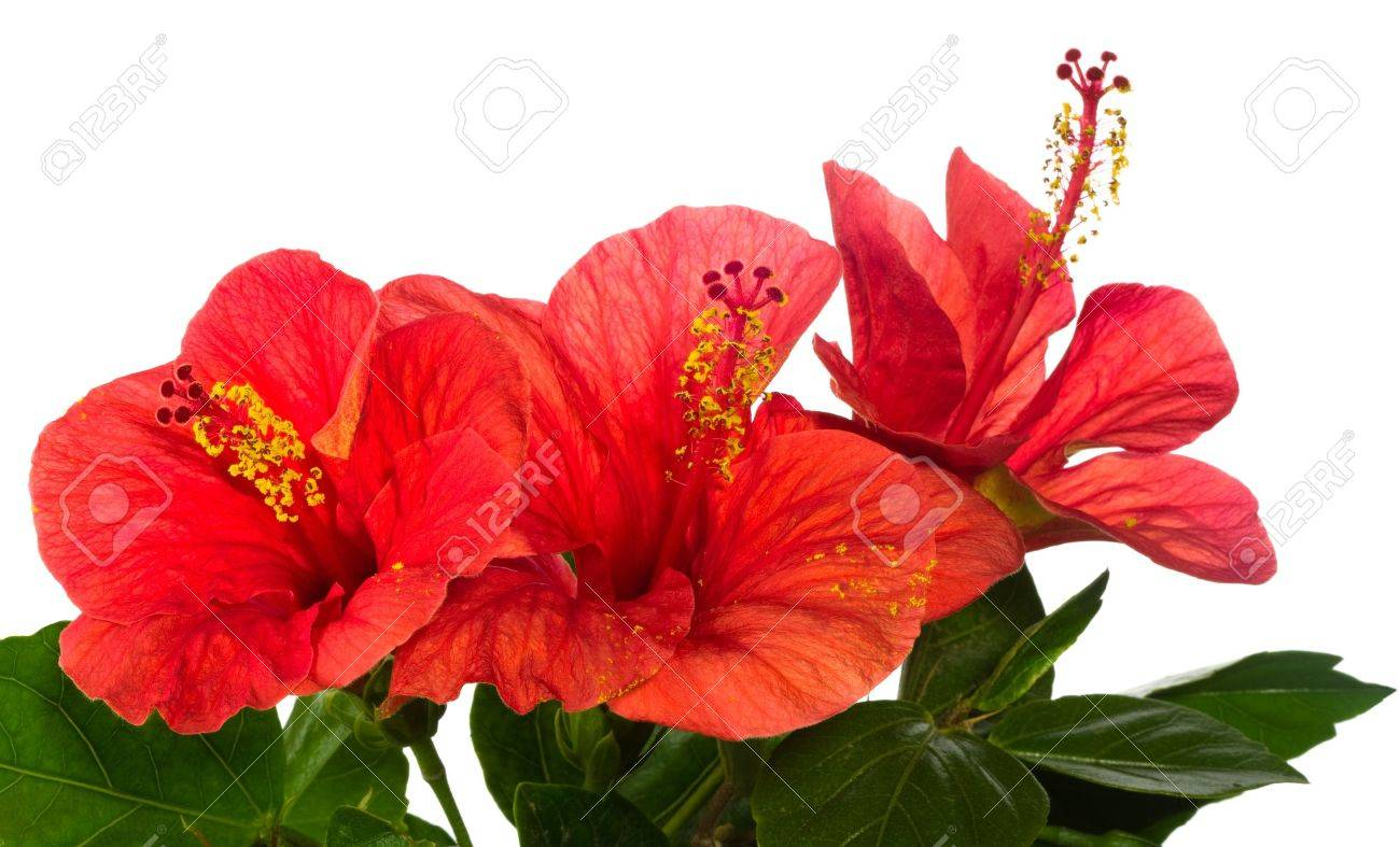 red hibiscus isolated on the white background - 9450945