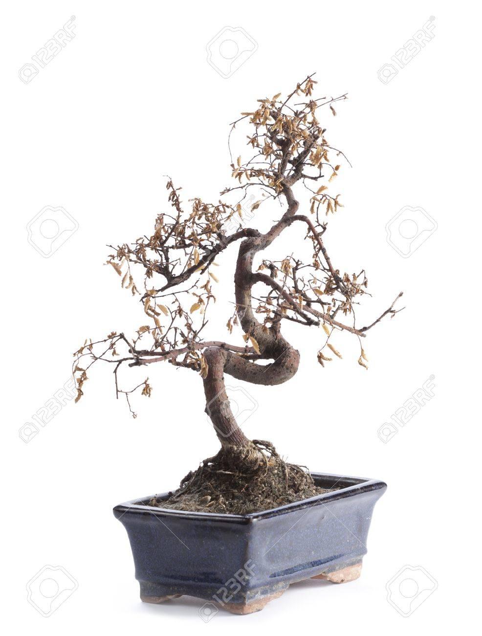 deceased bonsai tree - 11646240