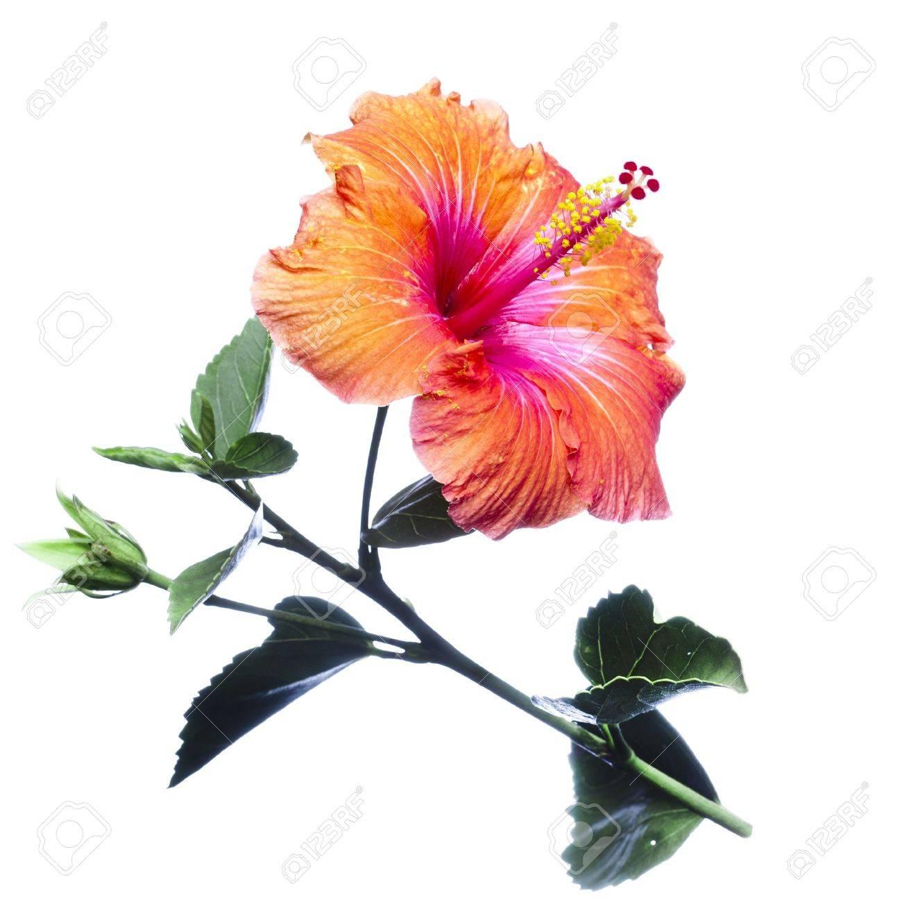 Hibiscus flowers - 12652937