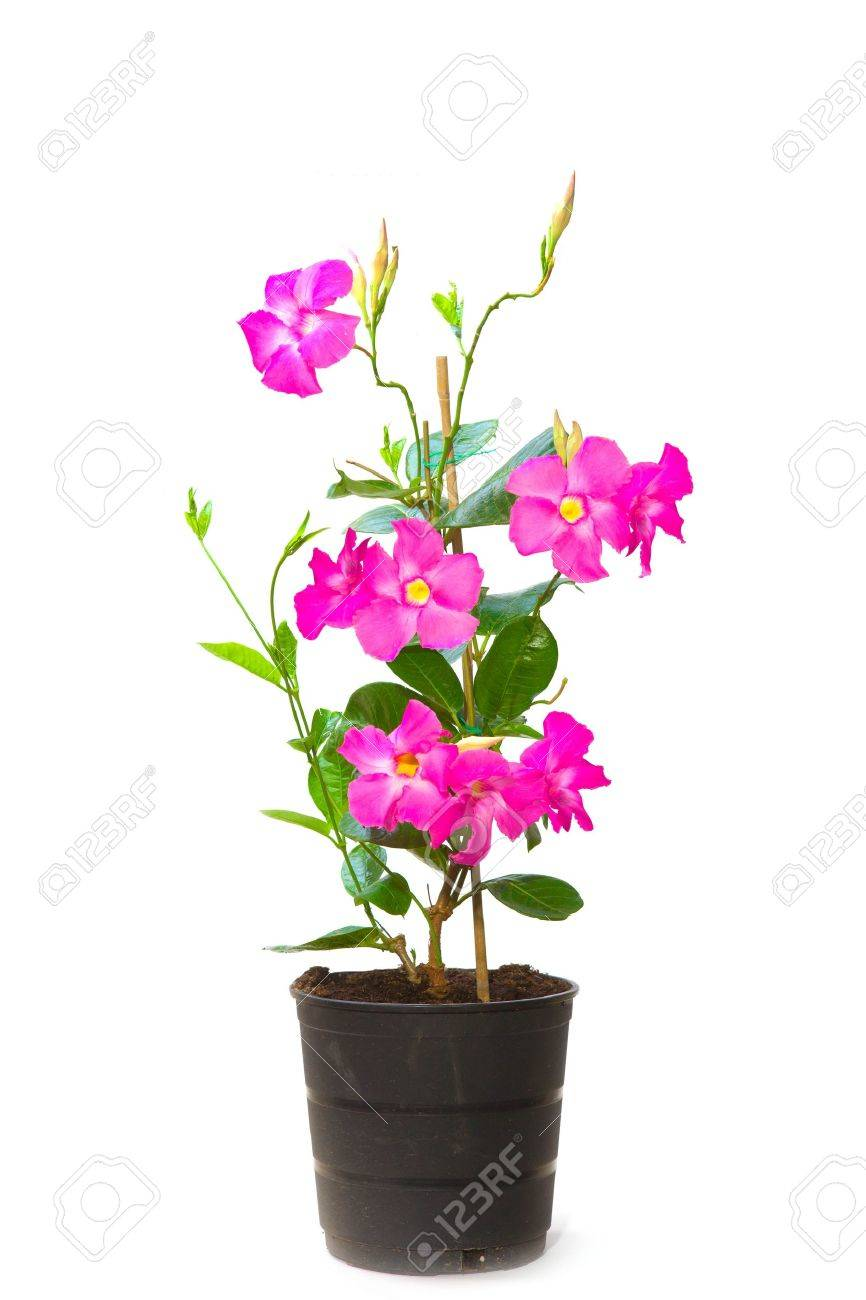 Mandevilla Dipladenia in the pot, isolated - 14780431