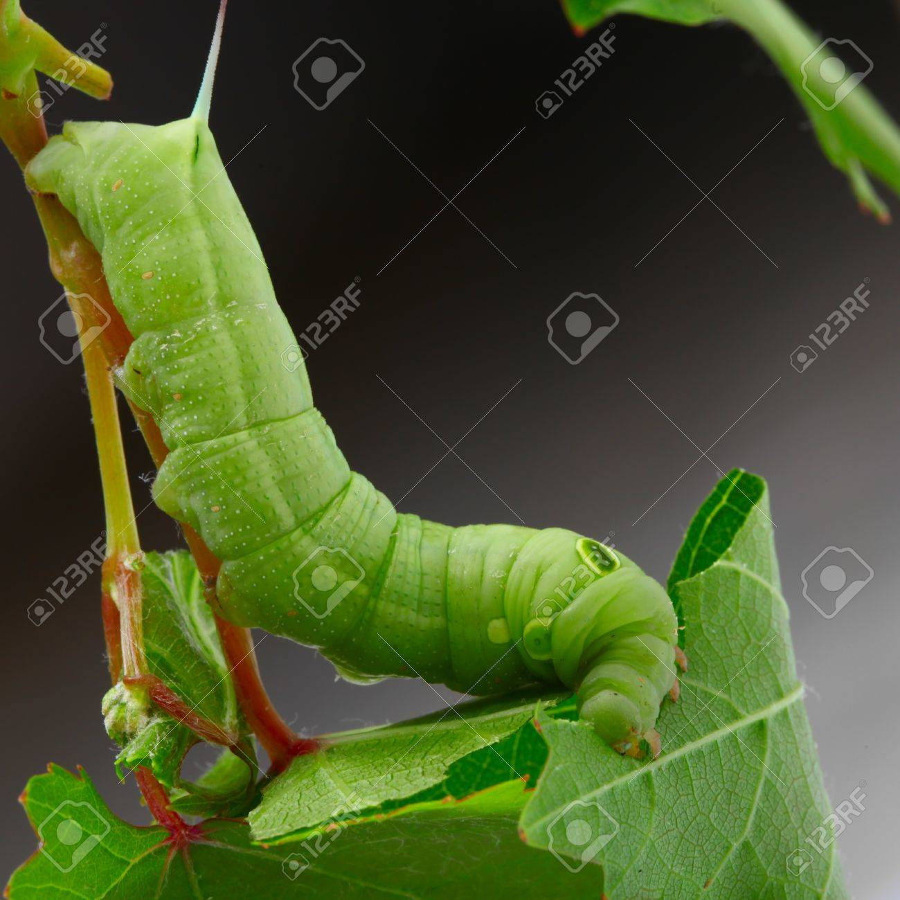 caterpillar on a grape leaf stock photo picture and royalty free
