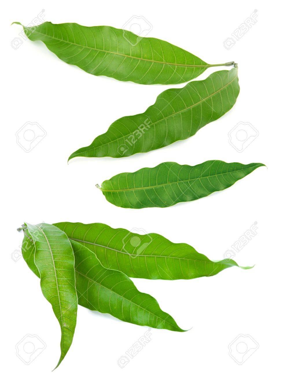 mango leaves - 16260509