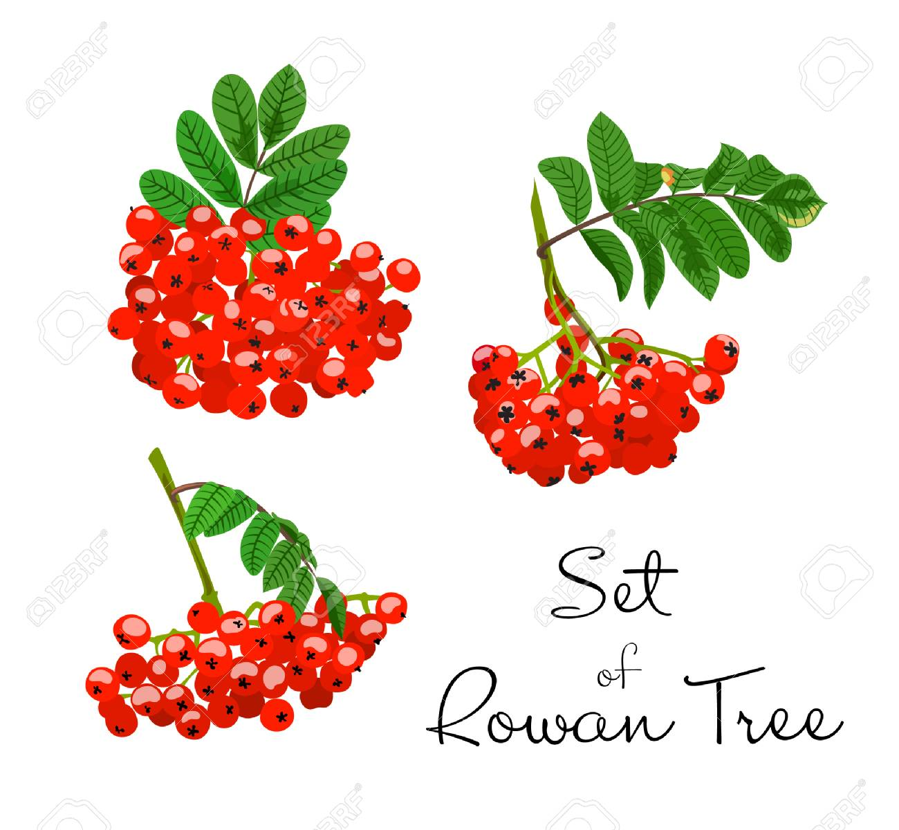 Vector illustration of rowan tree branches set red berries and vector vector illustration of rowan tree branches set red berries and green leaves on white background hand drawn mightylinksfo