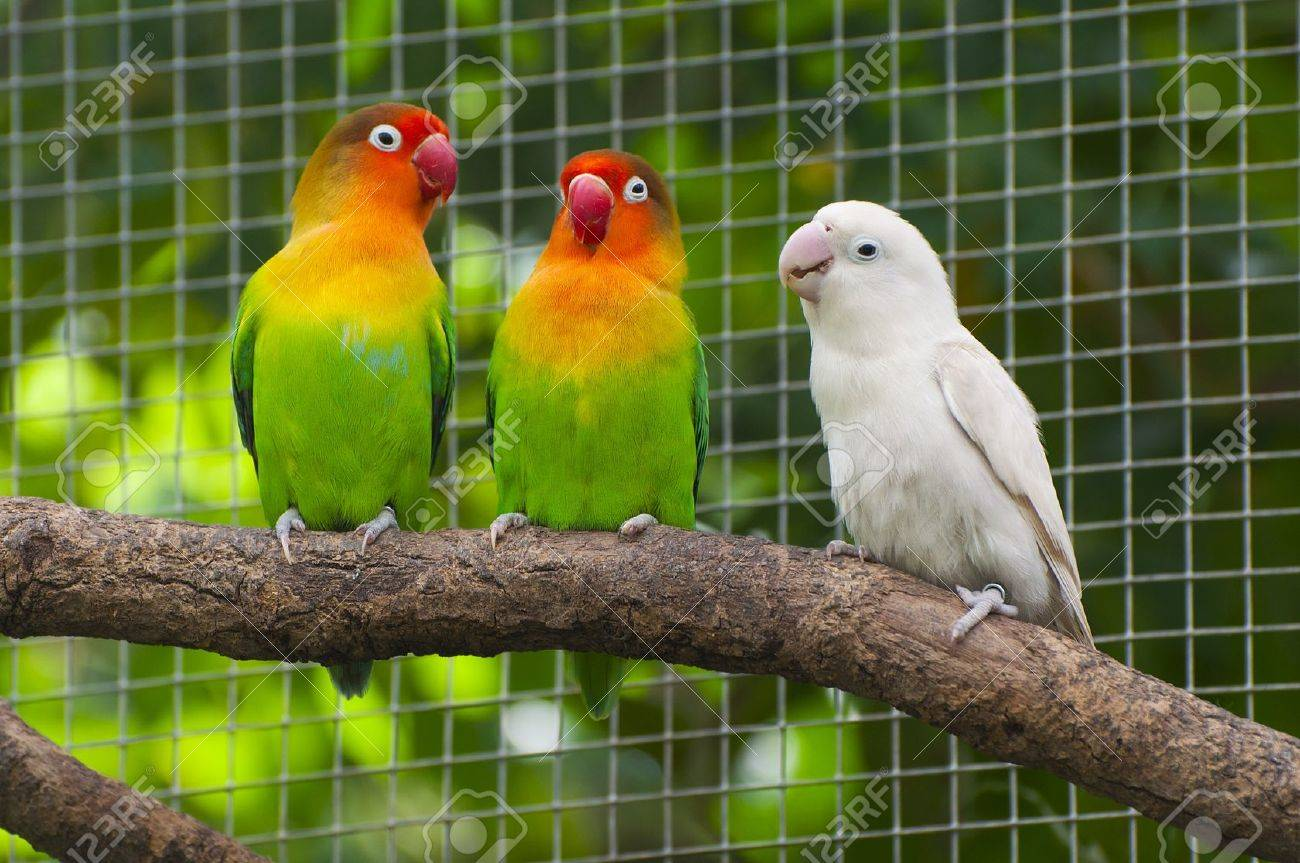three lovebirds birds on a branch green and white colored stock