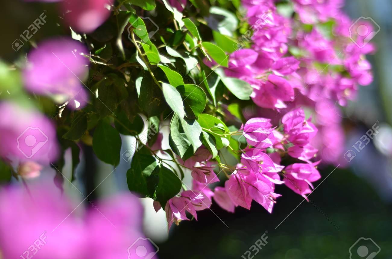 fleur de bougainvillier rose parfumée (bougainvillea spectabilis