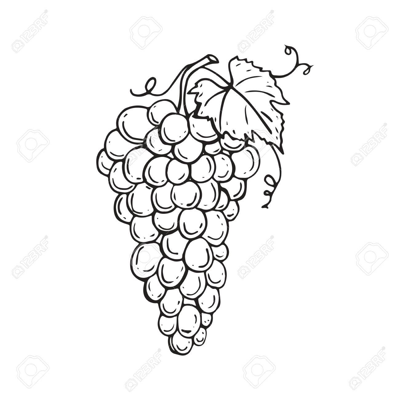 Vector Image Bunch Of Grapes Is Hand Drawn Sketch Of Grapes Royalty Free Cliparts Vectors And Stock Illustration Image 99626389