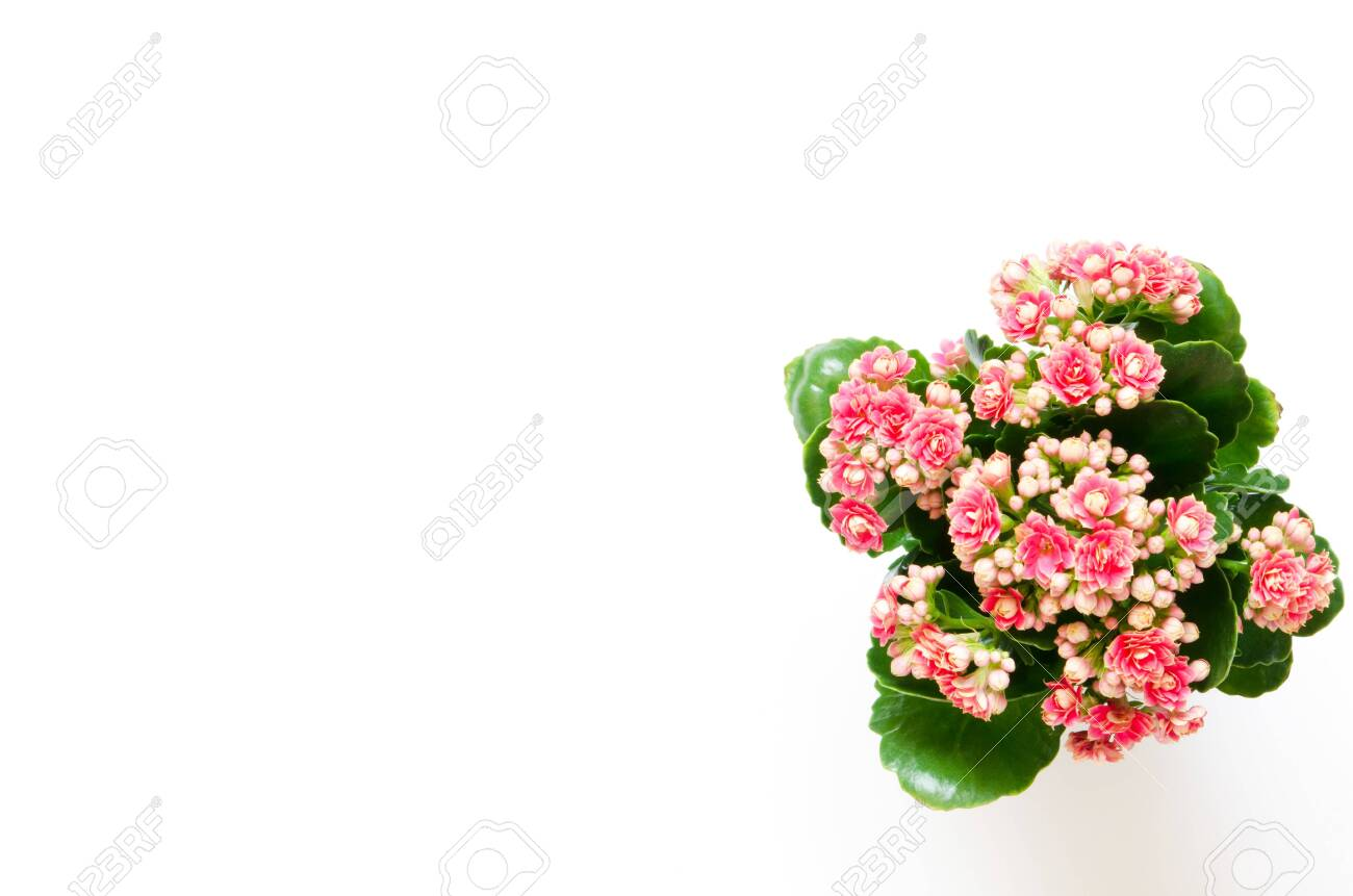 A Kalanchoe flowering plant with small light pink flowers on.. on kalanchoe blossfeldiana care, kalanchoe care indoors, kalanchoe flower,