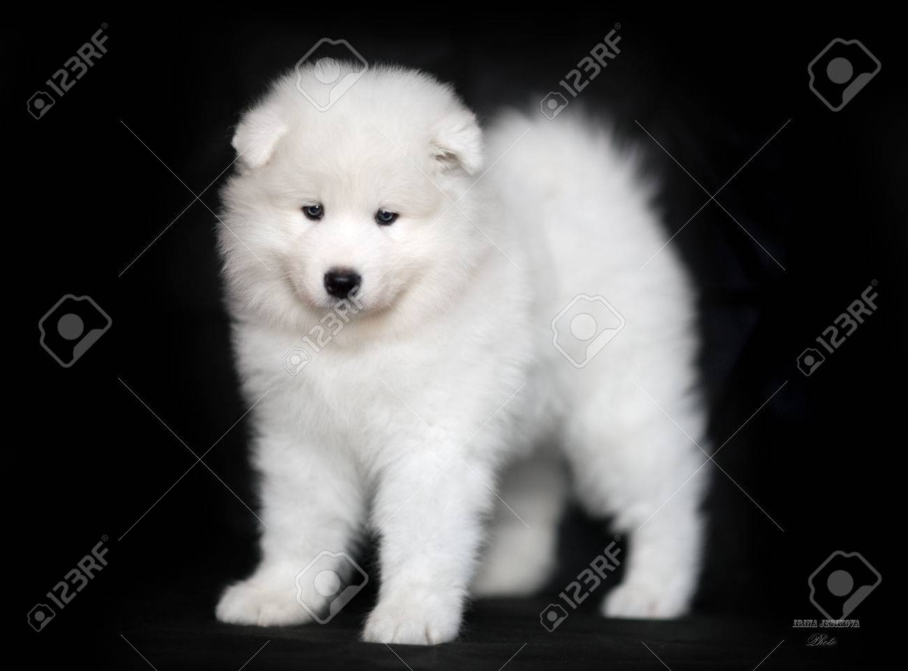 White Samoyed Puppy On A Black Background Stock Photo Picture And Royalty Free Image Image 71798040