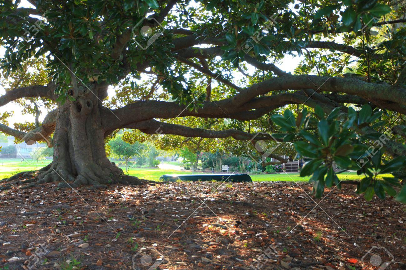 Beautiful Large Magnolia Tree Oldest In North Carolina Stock Photo