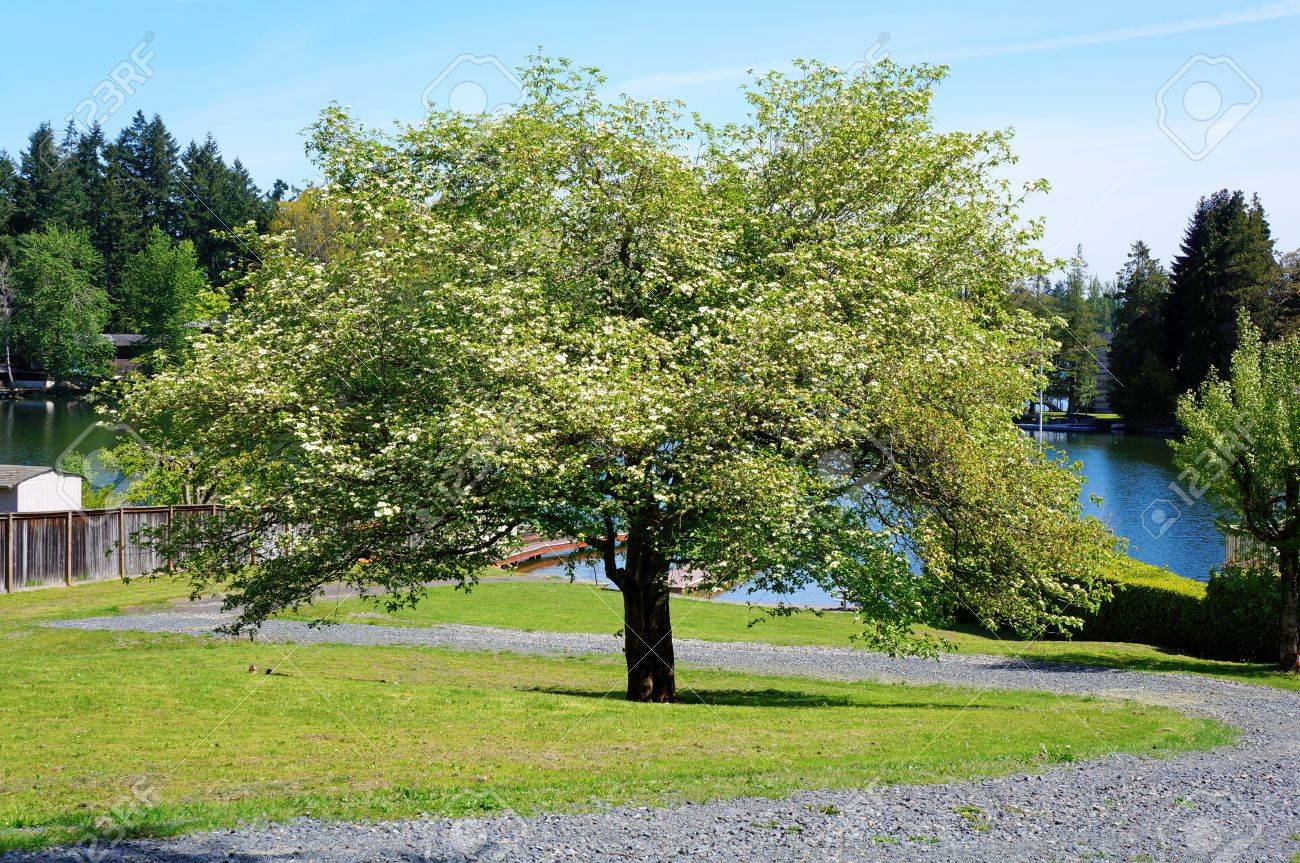 Large blooming spring tree with lake water on the back and green grass. Stock Photo - 14615295