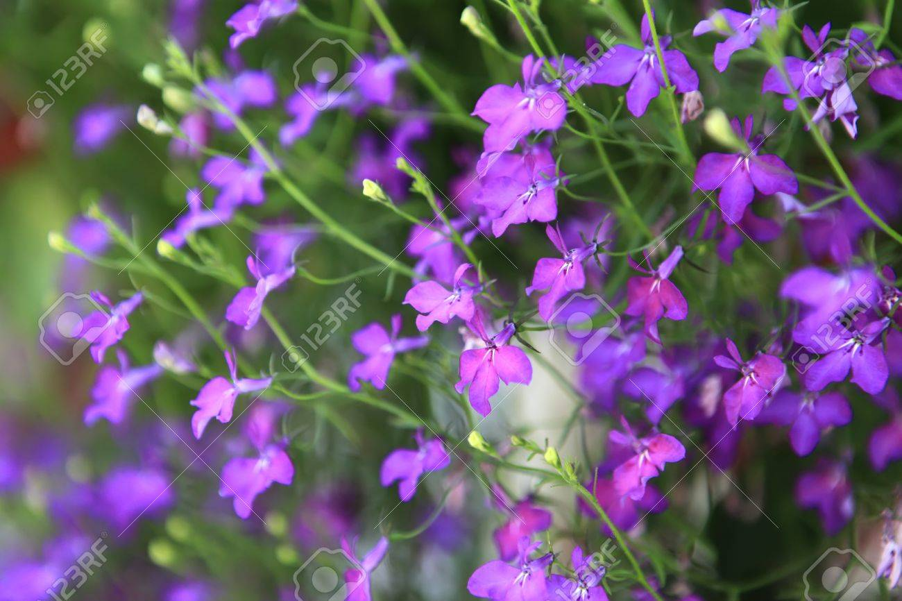 Purple Forget Me Not Flowers In A Big Bush Stock Photo Picture And
