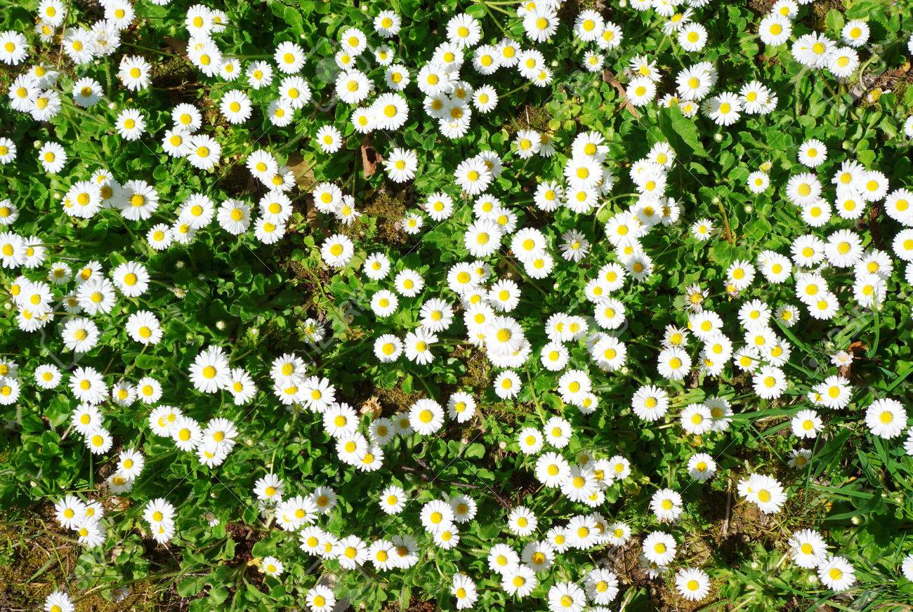 Spring Ground Cover In The Park With White Flowers Stock Photo