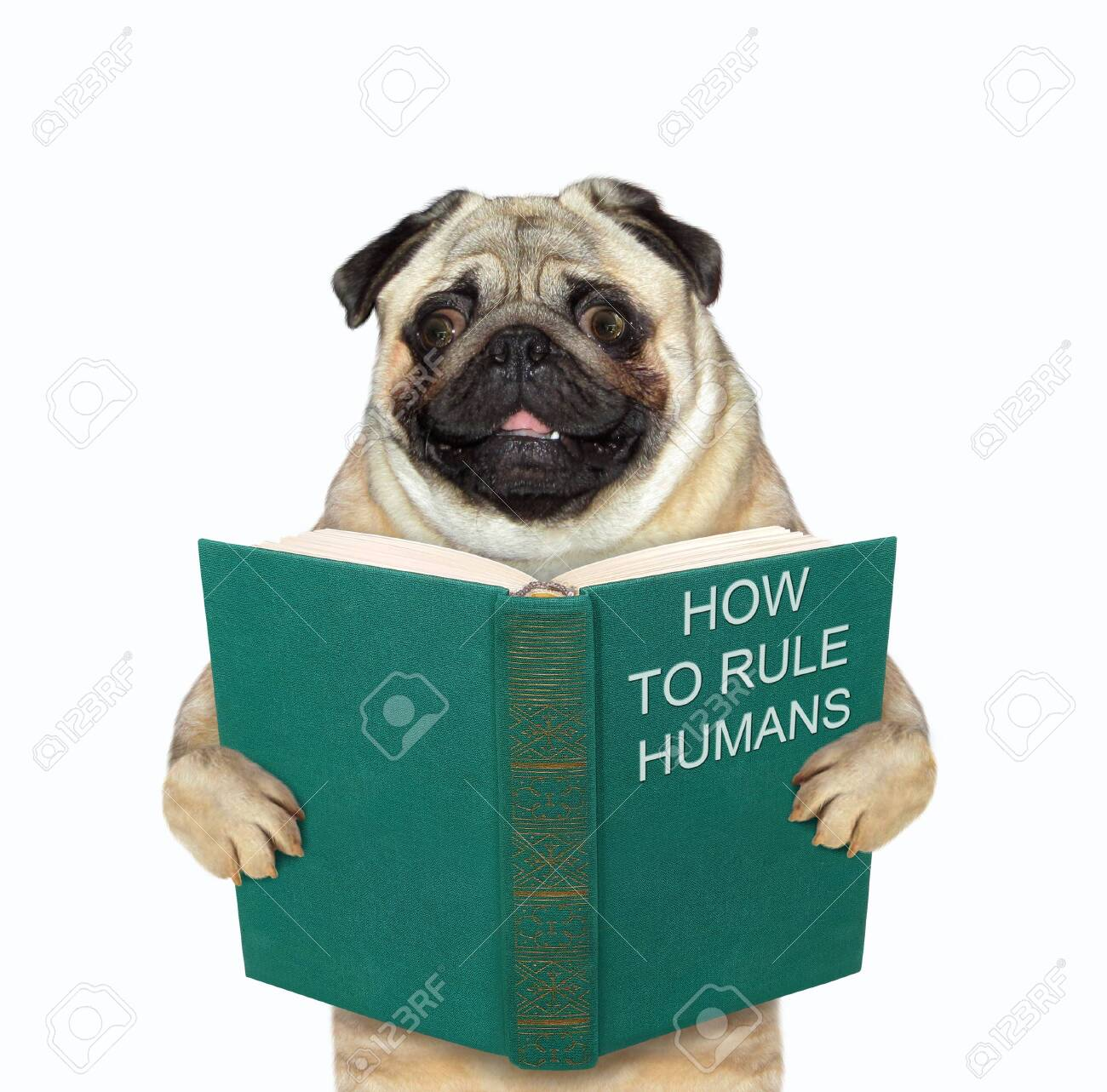 The pug dog is standing with a open green book called how to rule humans. White background. Isolated. - 156993292