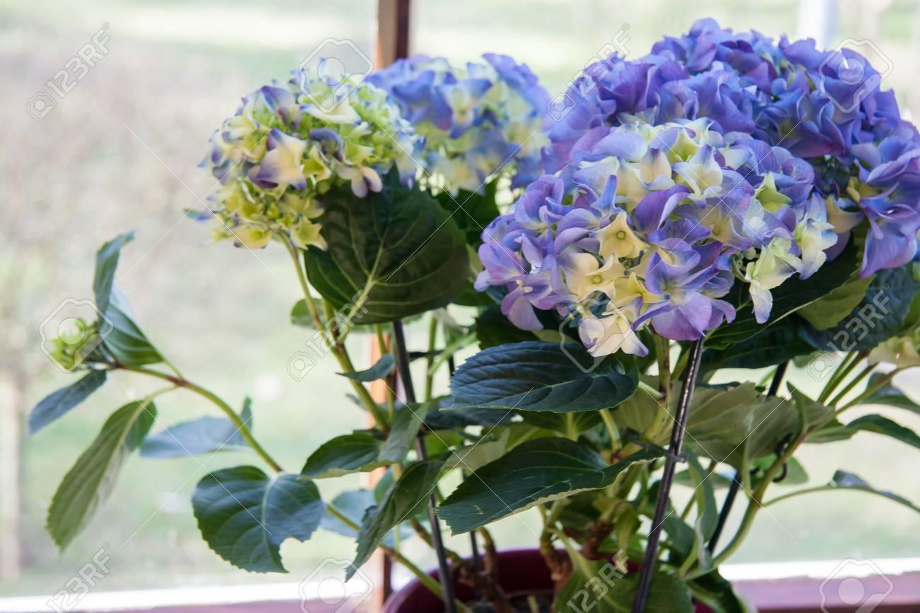 Blaue Hortensie Bluht Blumen Am Fenster Lizenzfreie Fotos Bilder