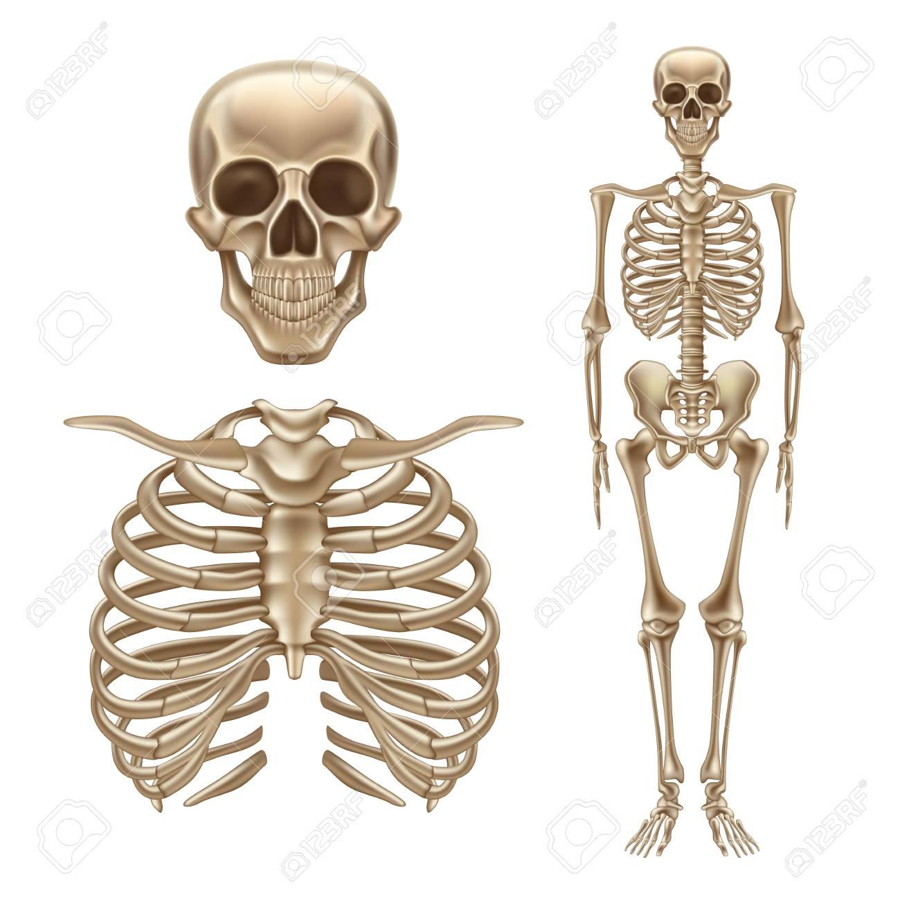 Vector 3d Human Skeleton Bones Skull Spine Royalty Free Cliparts