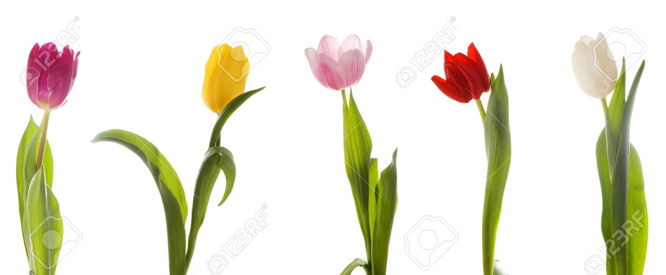 Five multi-colored tulips. Isolated on white Stock Photo - 2527646