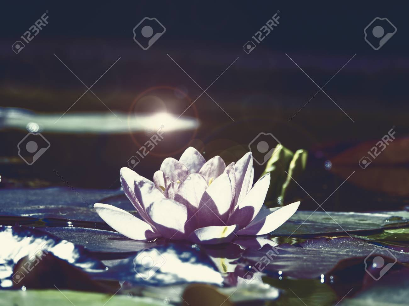 A Lotus Flower In The Twilight Of The Night Stock Photo Picture