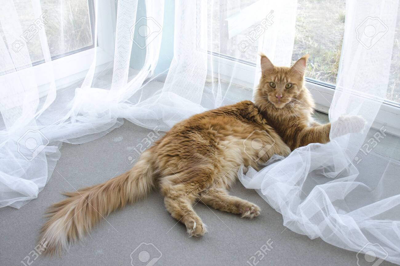 A young large red marble Maine coon cat lies on a white curtains