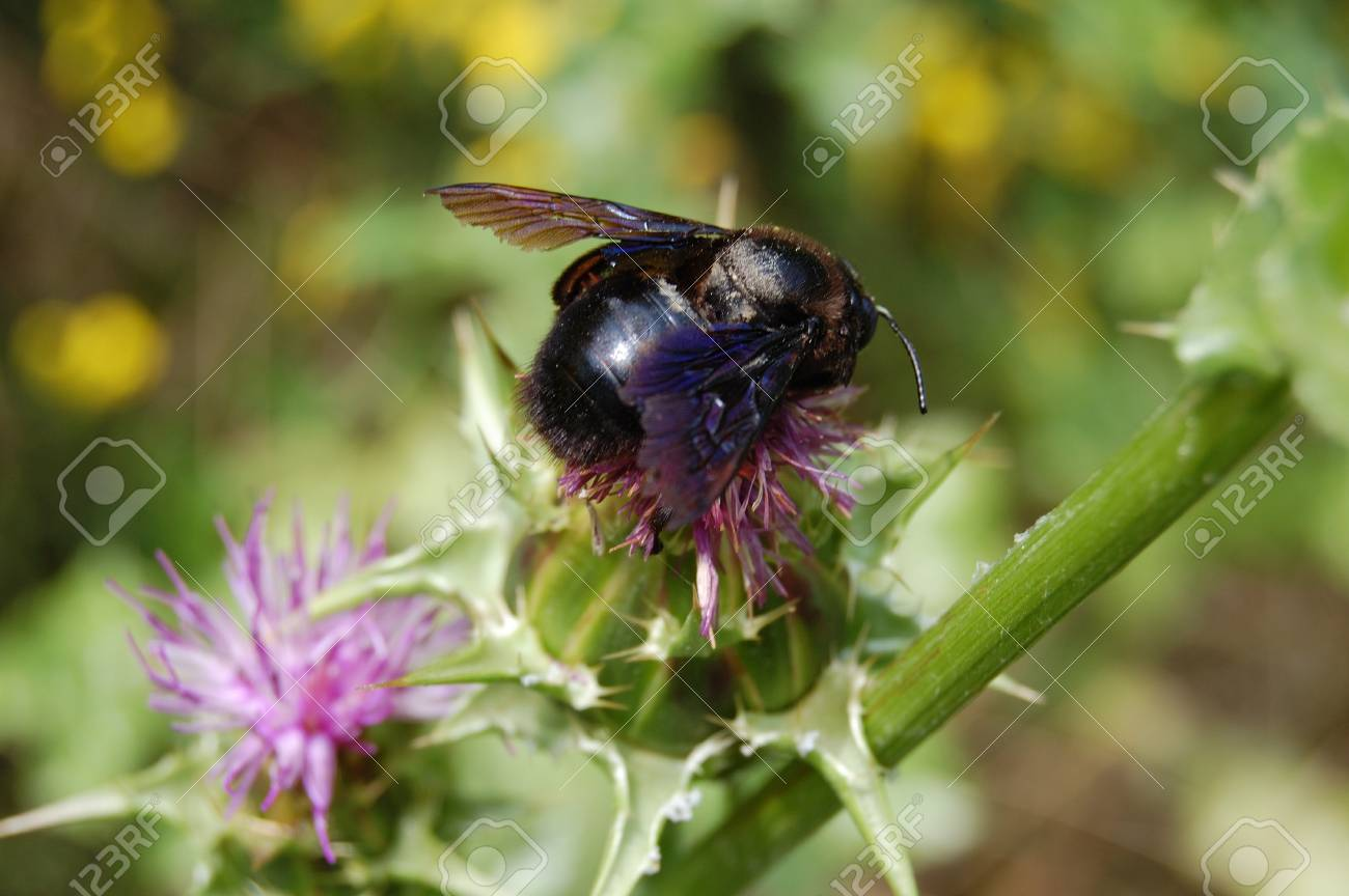 Black Bumble Bee >> Black Bumble Bee With Iridescent Wings On The Flowers Of A Thistle