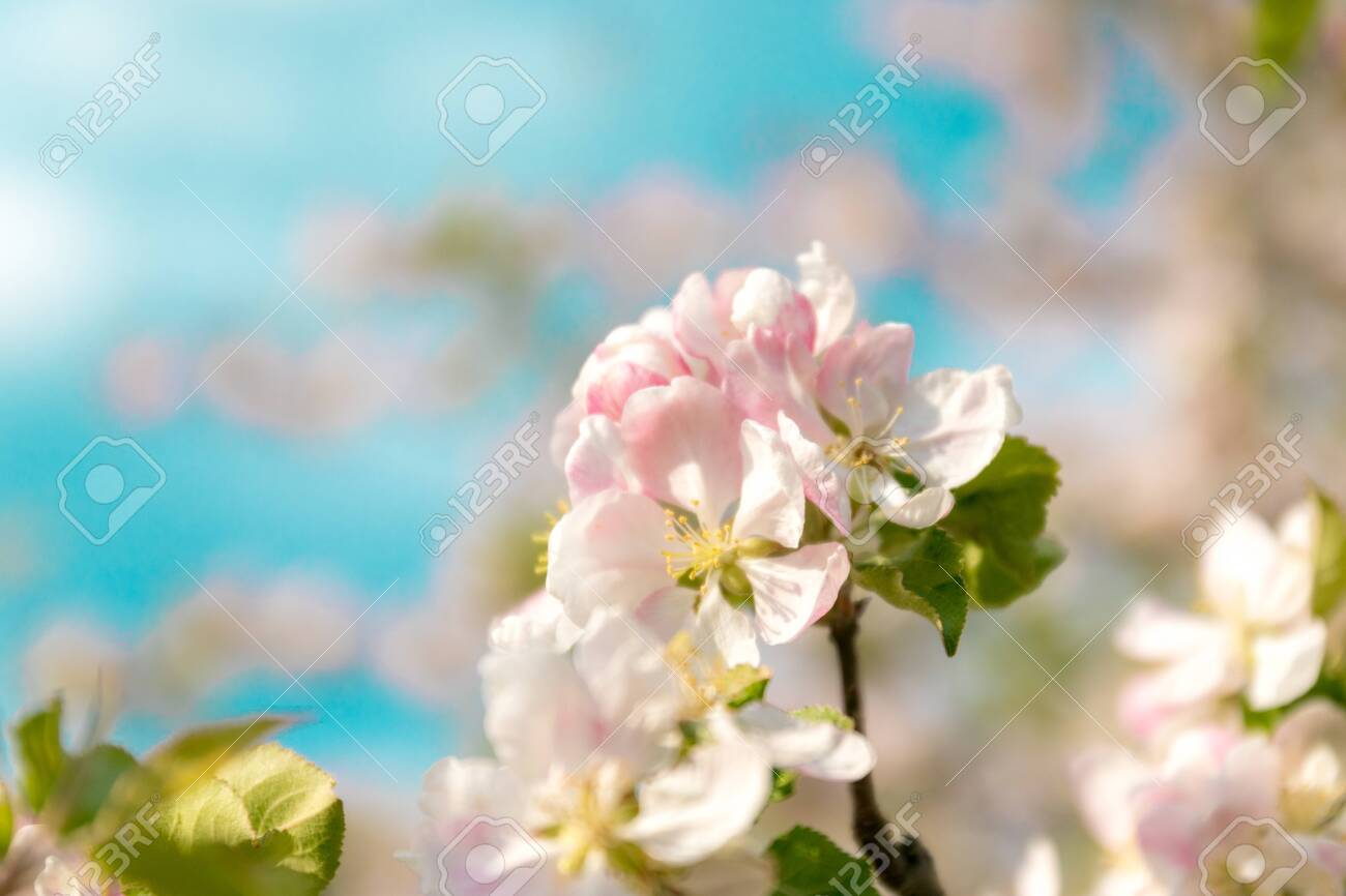 Closeup of branches of apple blossom on a blue background, blurred background, close up, selective focus - 146621980