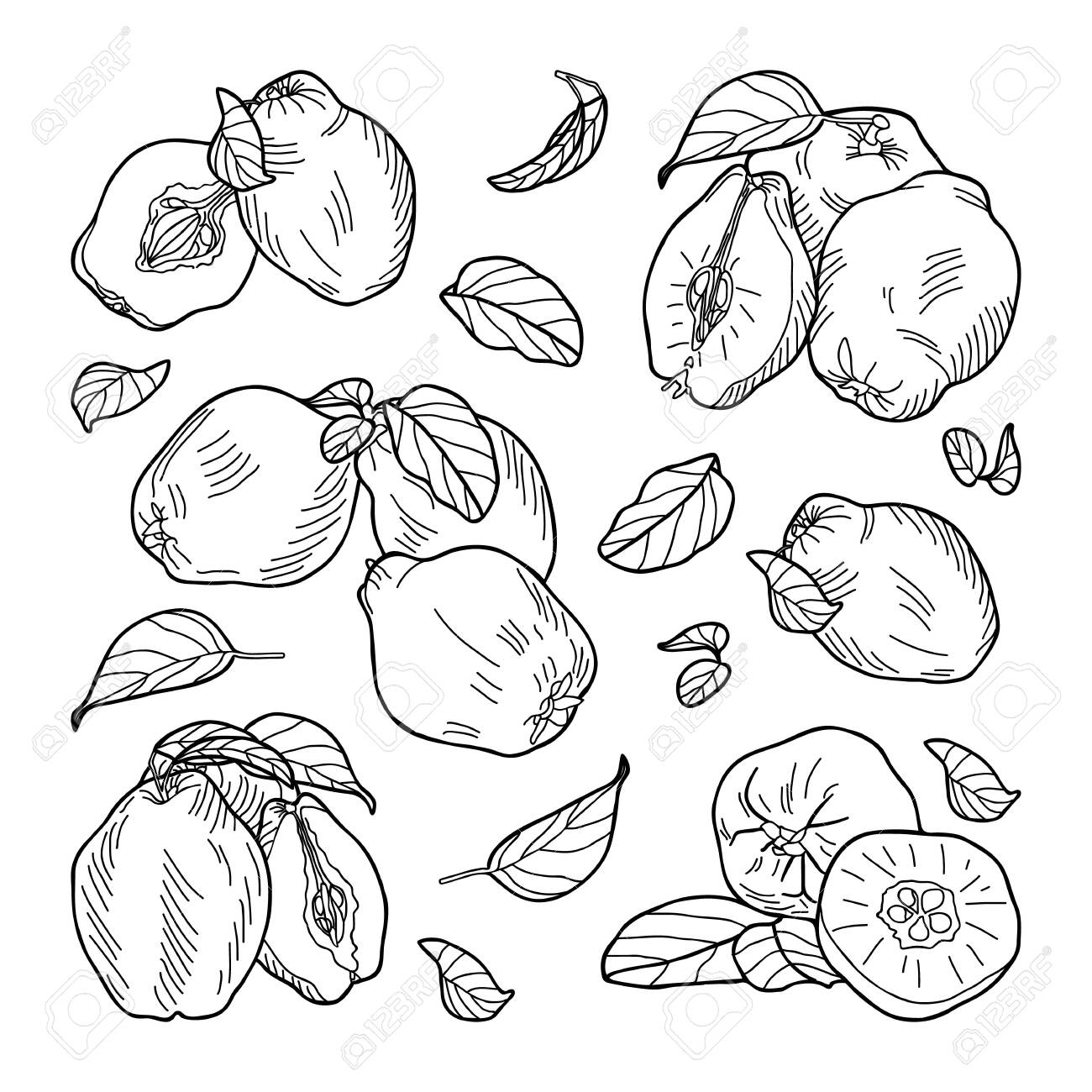 Composition of quince fruits: whole, halves, leaves. Hand-drawn vector illustration. - 153667103
