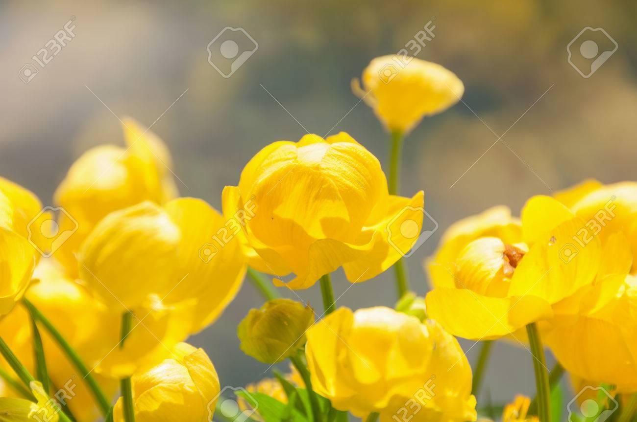 Fiori Gialli Nomi E Immagini.Immagini Stock Fiori Gialli Globe Fiore Da Vicino Su Sfondo