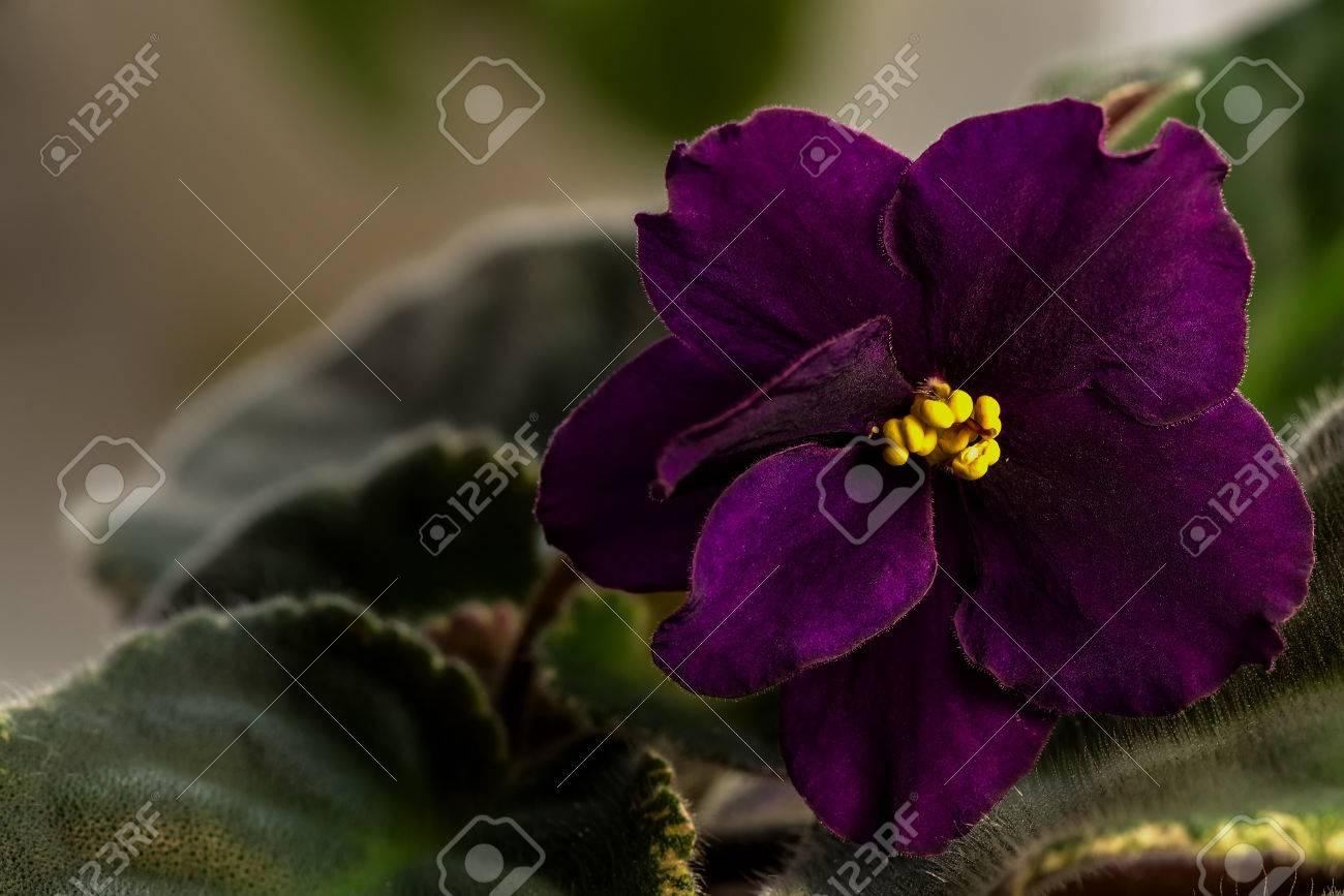 Dark purple flower of violet with yellow stamens stock photo dark purple flower of violet with yellow stamens stock photo 39220656 mightylinksfo Choice Image