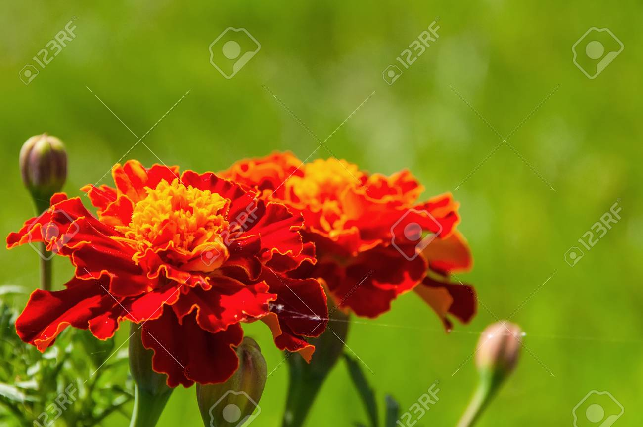 Bright Floral Decorative Background Of Beautiful Flowers Marigolds