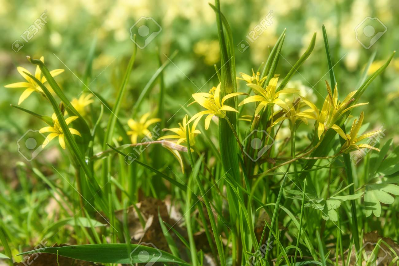 Beautiful Spring Floral Background With Bright Small Yellow Flowers