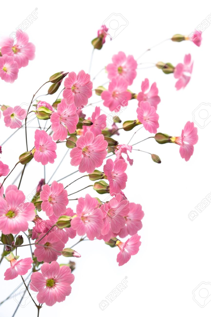 Gentile pink flowers on the white background stock photo picture gentile pink flowers on the white background stock photo 5402453 mightylinksfo
