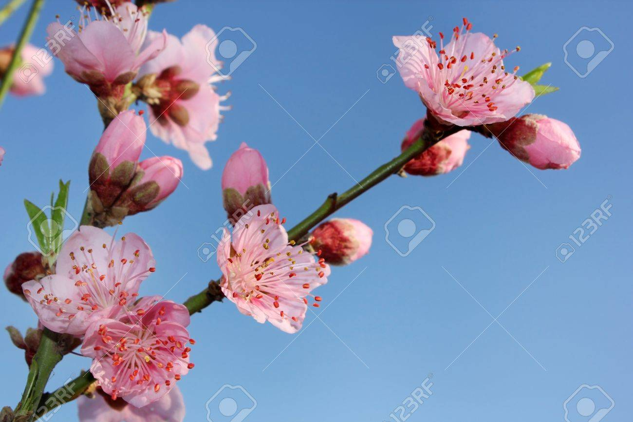 blossoming peach on a blue background Stock Photo - 12764746