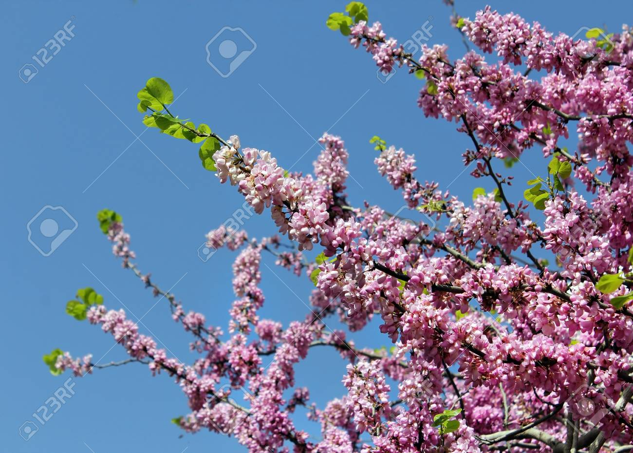 beautiful flowering tree against the bright blue sky  as floral background Stock Photo - 13180652