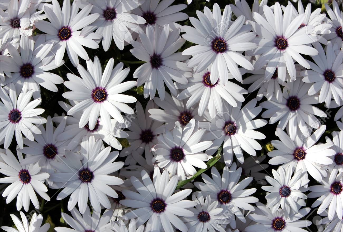 white garden chrysanthemums as floral background Stock Photo - 13180647