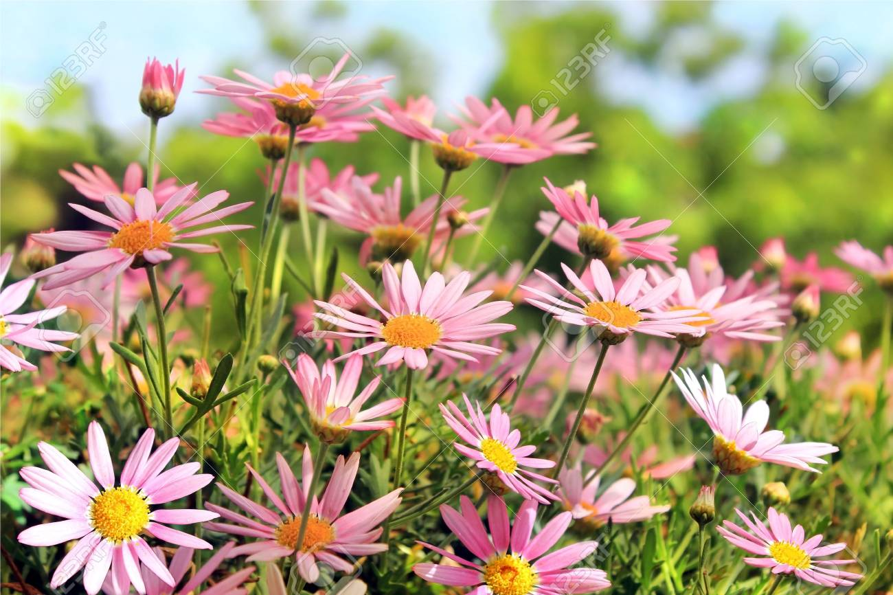 Field of pink camomiles as a floral background Stock Photo - 13929504