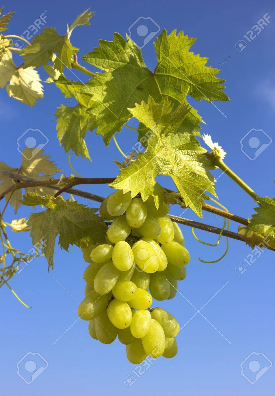 Closeup of a green bunch of grapes Stock Photo - 14794652