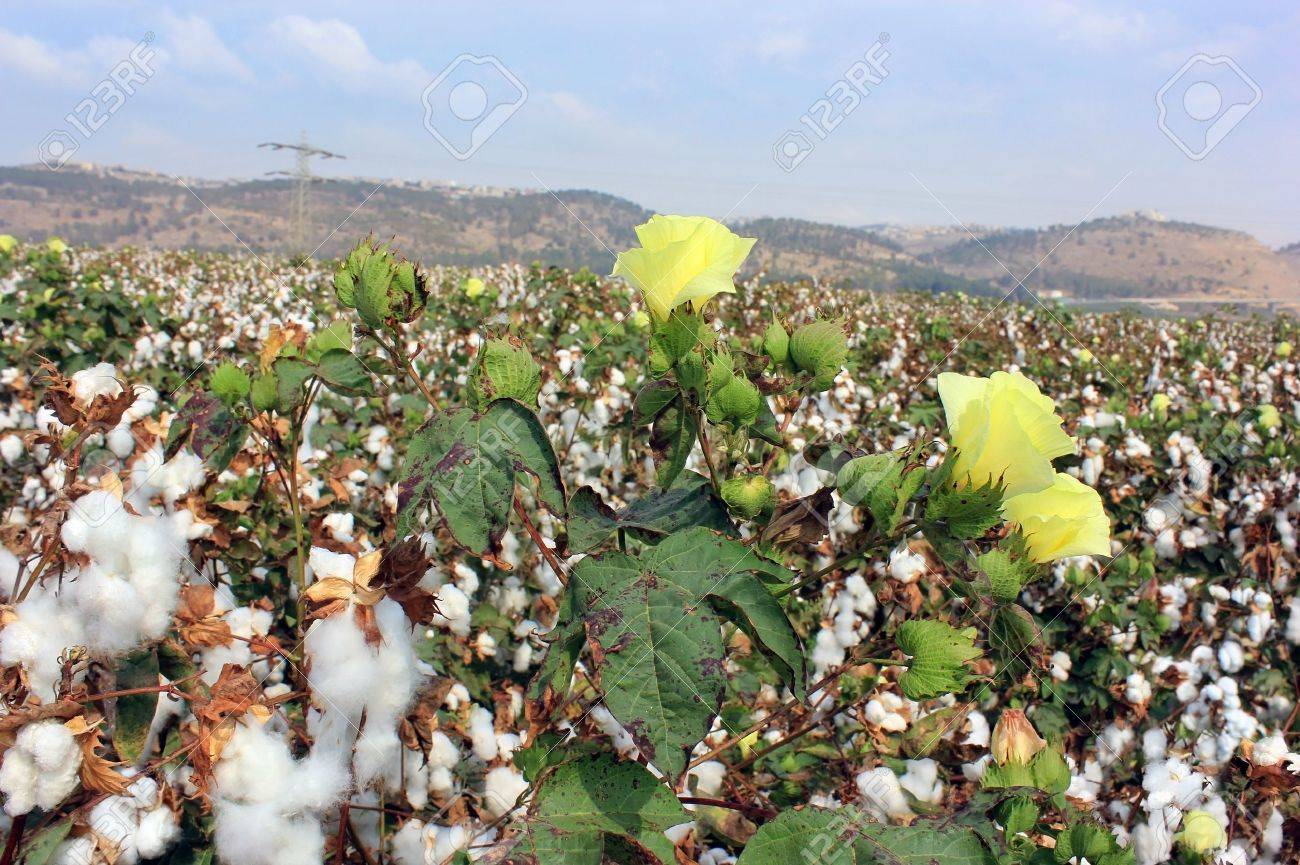 Cotton fields white with ripe cotton ready for harvesting Stock Photo - 15539633