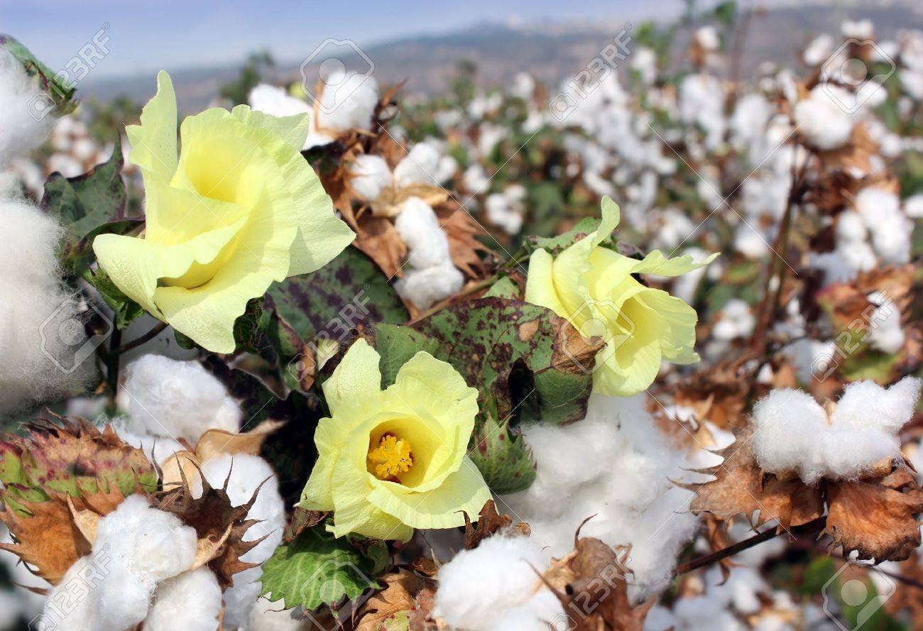 Cotton fields white with ripe cotton ready for harvesting Stock Photo - 15539632