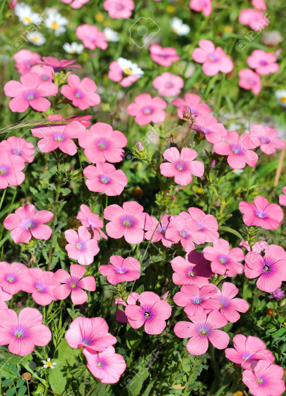 bright pink flowers of the field, the first spring bloom, as floral background Stock Photo - 18302909