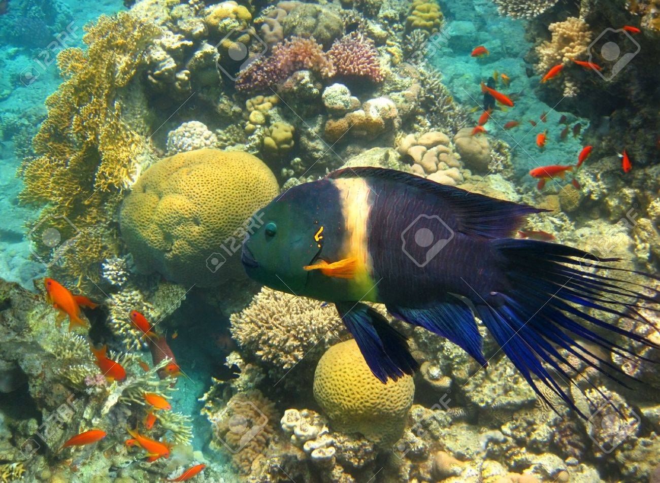 underwater image of tropical fish , male of broom-tail wrasse , cheilinus lunulatus,  Eilat, Israel Stock Photo - 19198407