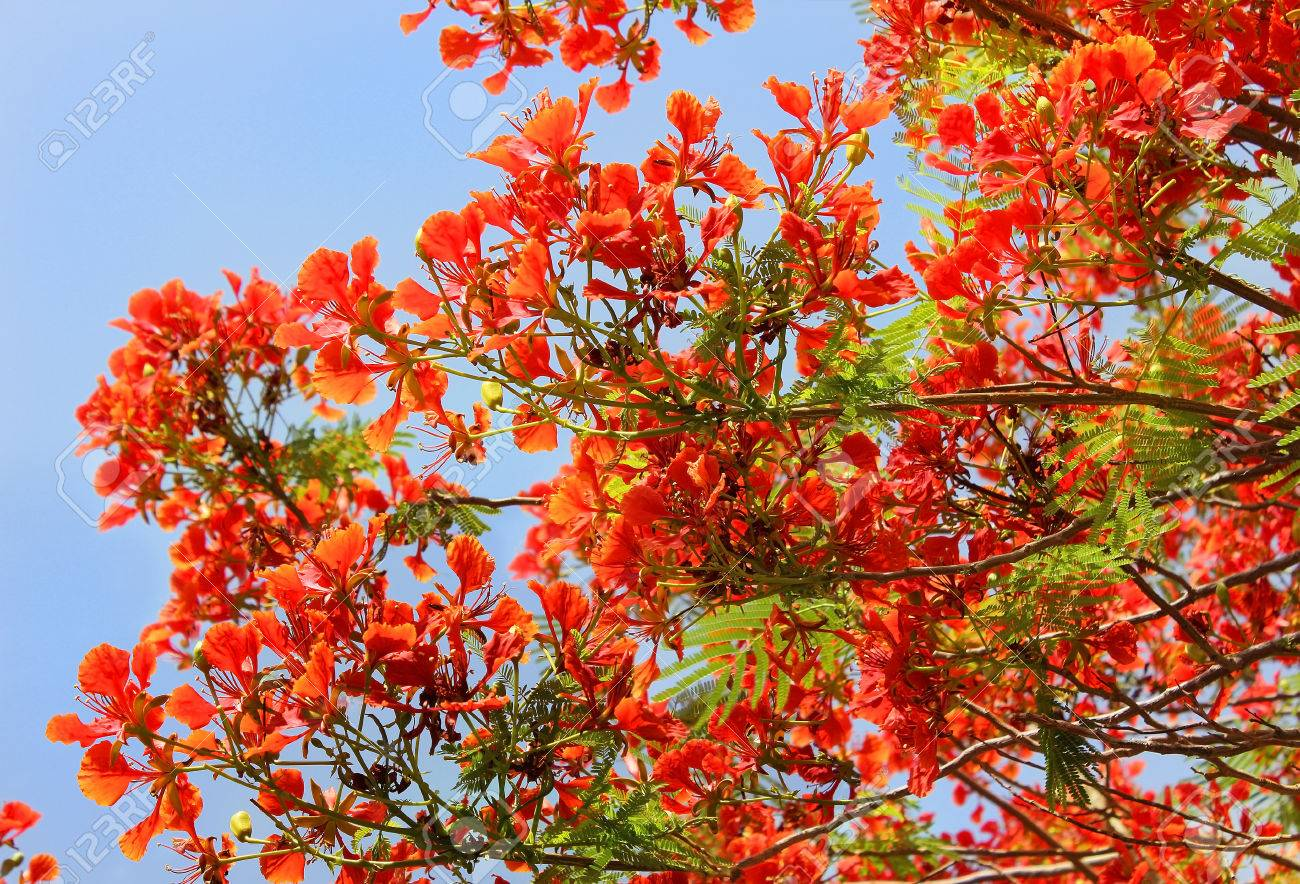 Flowering Tree Red Acacia As A Natural Background Stock Photo
