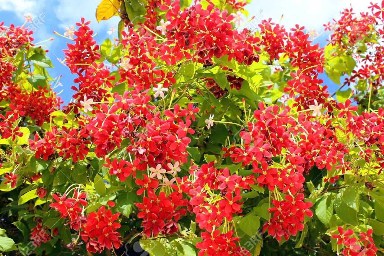 Red Flowers Of Mediterranean Acacia Against The Blue Sky Stock Photo