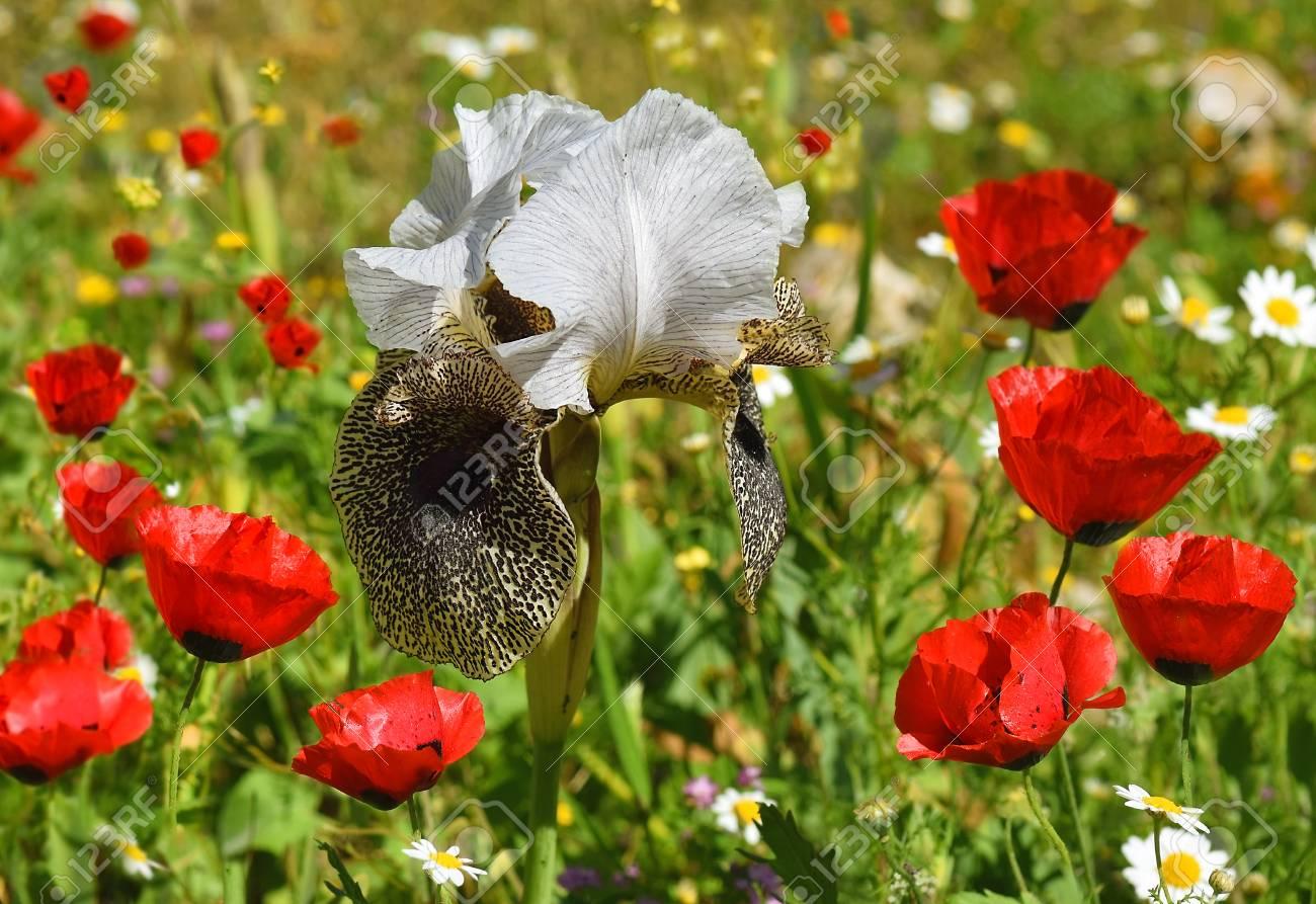 Les Coquelicots Rouges Et L Iris Nazareen Iris Bismarckiana Une