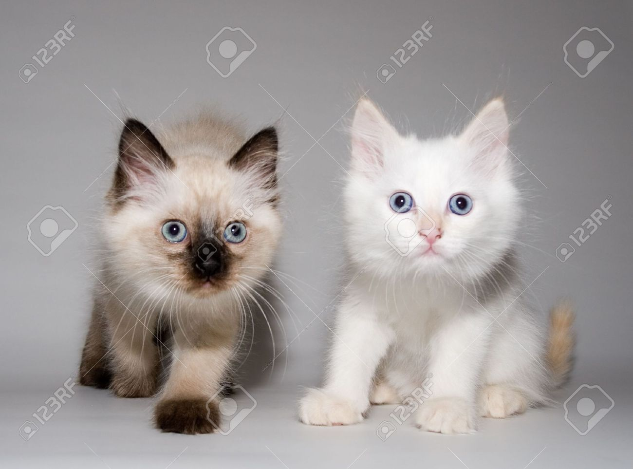 Flame Point Kitten Point and flame point,