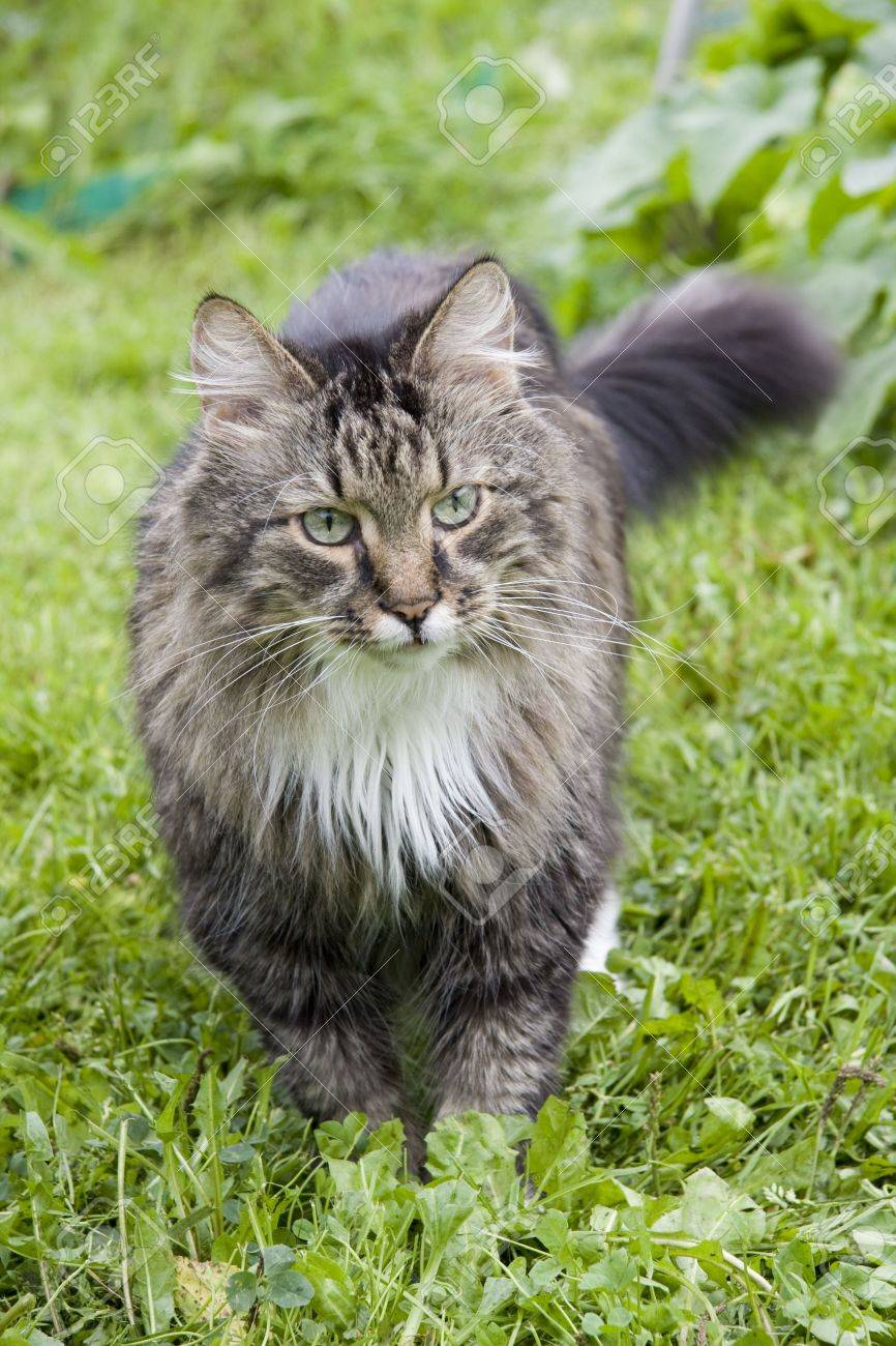 The cat is walking on the grass. The cat is looking fixedly at the camera. Stock Photo - 5074315