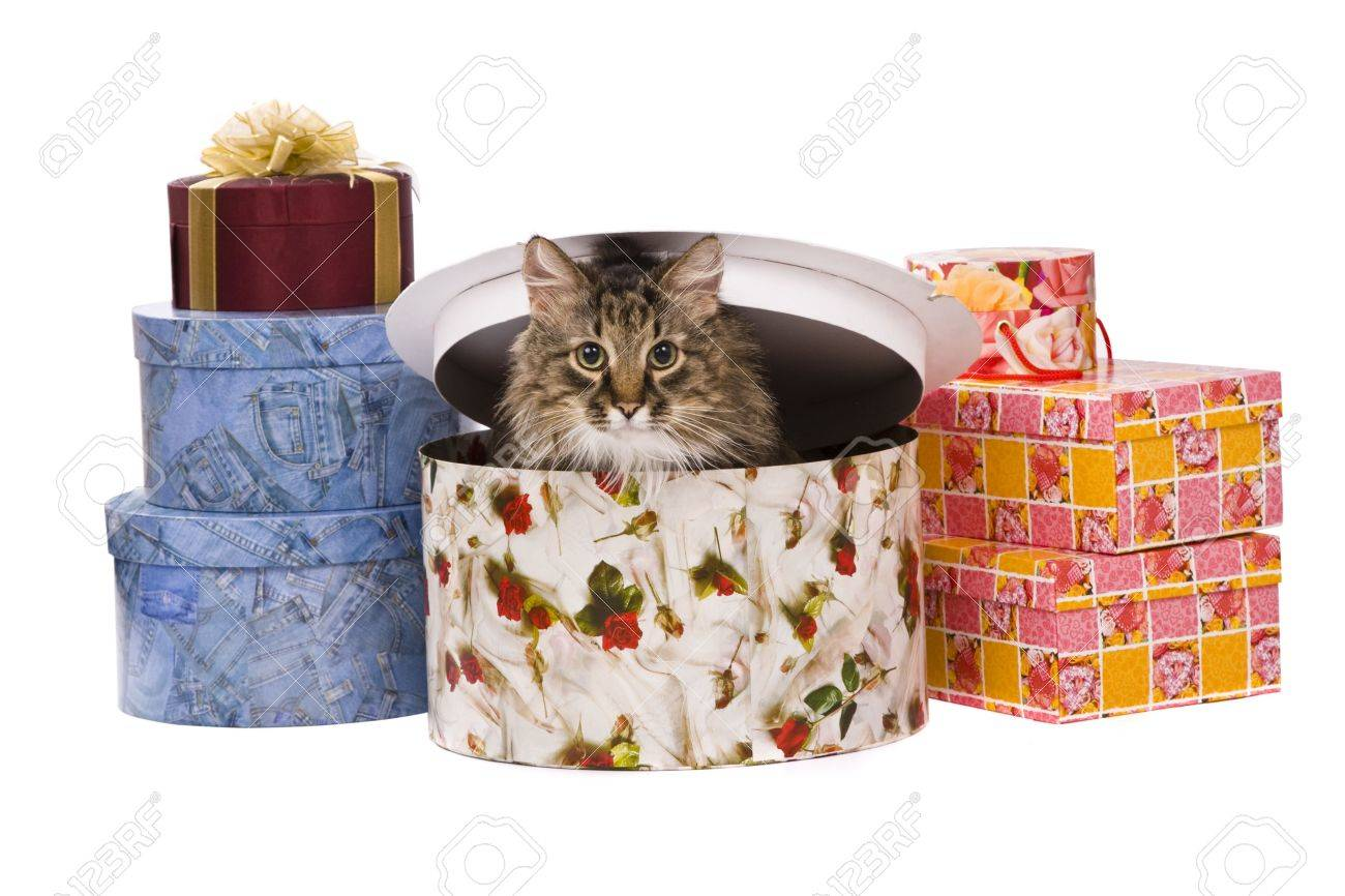 Cat is peeking out of a gift box
