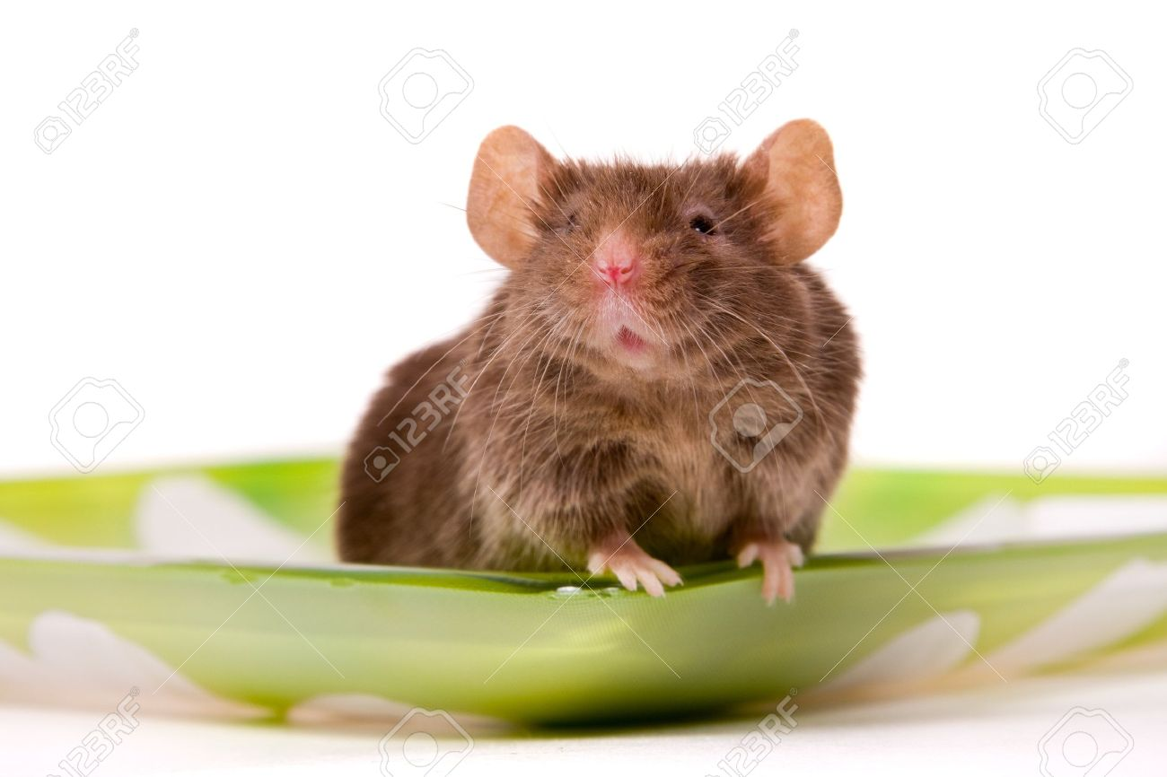 Small brown mouse on a white background. Interested laboratory mouse looking on you. Stock Photo - 7311174