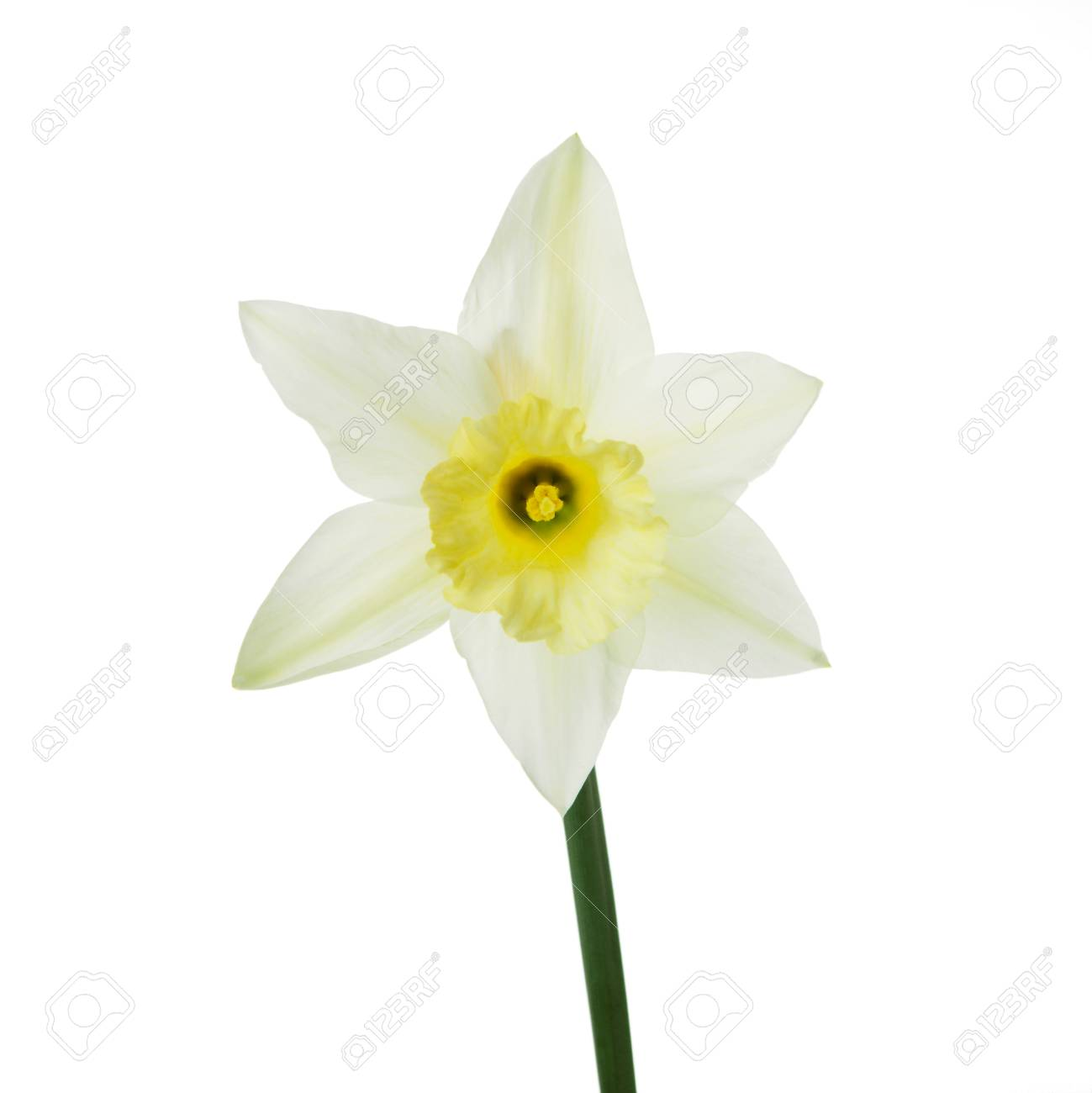 Single Yellow Narcissus Flower Lying On Its Side Composition